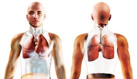 3d Human Respiratory System Stock Image