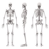 3d human skeleton Royalty Free Stock Images