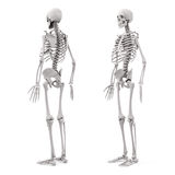 3d human skeleton Stock Photography