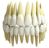 3d human teeth Stock Image