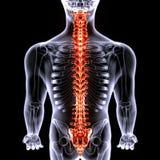 3d illustrarion ciała ludzkiego rdzeń kręgowy ciało ludzkie rozdziela Zdjęcia Royalty Free