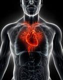 3D illustratie Menselijke Interne Organisch - Menselijk Hart Stock Fotografie