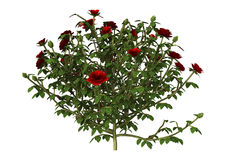 3D Illustratie Rode Rose Bush op Wit Royalty-vrije Stock Fotografie