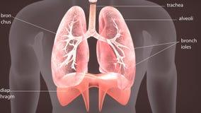 3d illustratie van de anatomie van menselijk lichaamslongen vector illustratie