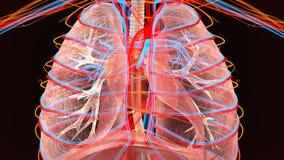 3d illustratie van de anatomie van menselijk lichaamslongen royalty-vrije illustratie