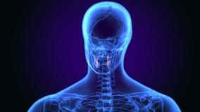 3d illustratie van de anatomie van menselijk lichaamstanden vector illustratie