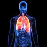 3d illustratie van de longenanatomie van het menselijk lichaamsorgaan stock illustratie