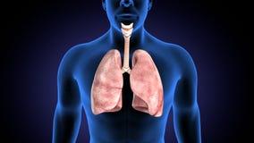 3d illustratie van de longenanatomie van het menselijk lichaamsorgaan vector illustratie