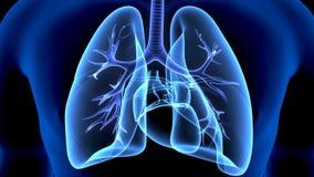 3d illustratie van de longenanatomie van het menselijk lichaamsorgaan royalty-vrije illustratie