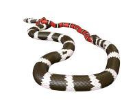 3D Illustratie van een Koning Snake Swallowing van Californië een Scharlaken Koning Snake Royalty-vrije Stock Foto