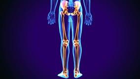 3d illustratie van het beenanatomie van het menselijk lichaams lagere been stock illustratie