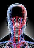 3D illustratie van Menselijk Intern Systeem - het Vaatstelsel Stock Foto