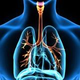 3d illustratie van menselijk lichaam organrep royalty-vrije illustratie
