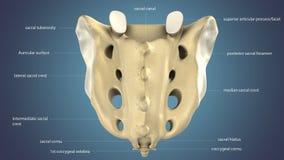 3d illustratie van Sacrum de Anatomie van het Stuitbeenbeen met het Vaatstelsel stock illustratie