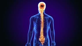 3d illustratie van schedel met ruggemerganatomie stock illustratie