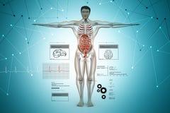 Anatomy of human body. 3d illustration of Anatomy of human body Stock Photography