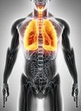3D illustration av lungor, medicinskt begrepp Royaltyfria Foton