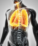 3D illustration av lungor, medicinskt begrepp Arkivfoton