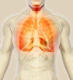 3D illustration av lungor, medicinskt begrepp Arkivbild