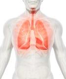 3D illustration av lungor, medicinskt begrepp royaltyfri illustrationer