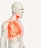 3D illustration av lungor, medicinskt begrepp Arkivfoto