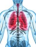 3D illustration av lungor, medicinskt begrepp Fotografering för Bildbyråer