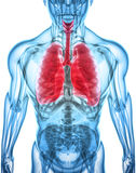 3D illustration av lungor, medicinskt begrepp Royaltyfria Bilder