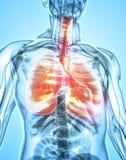 3D illustration av lungor, medicinskt begrepp Royaltyfri Bild