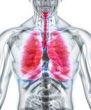 3D illustration av lungor, medicinskt begrepp Royaltyfri Fotografi