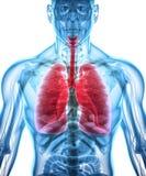 3D illustration av lungor, medicinskt begrepp Arkivbilder