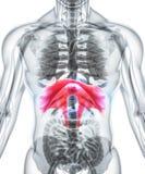 3D illustration av membranen, medicinskt begrepp Royaltyfria Foton