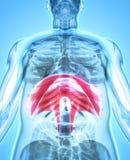 3D illustration av membranen, medicinskt begrepp Royaltyfri Foto
