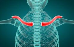 3D illustration av nyckelbenet, medicinskt begrepp stock illustrationer