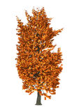 3D Illustration Chestnut Tree on White. 3D Illustration of an autumnal chestnut tree  on white background Royalty Free Stock Photos