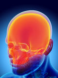 3D illustration of Cranium, medical concept. Stock Photos