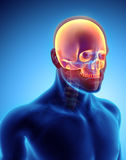 3D illustration of Cranium, medical concept. Royalty Free Stock Photography