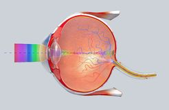Cross-section of the human eye in a side view royalty free illustration
