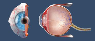 Cross-section of the human eye in a side view and a frontal view. 3D illustration of a cross-section of the human eye in a side view and a frontal view royalty free stock image