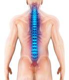 3D illustration d'épine, concept médical Images stock