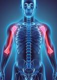 3D illustration d'humérus, concept médical Photos stock