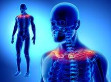 3D illustration de clavicule, concept médical Image stock