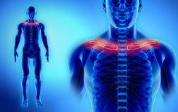 3D illustration de clavicule, concept médical Images stock