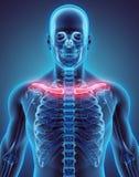 3D illustration de clavicule, concept médical Photo libre de droits