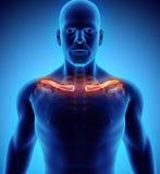3D illustration de clavicule, concept médical Photos libres de droits