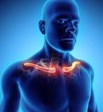 3D illustration de clavicule, concept médical Image libre de droits