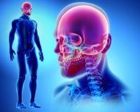 3D illustration de crâne, concept médical Photos stock