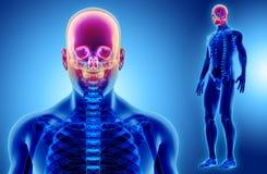 3D illustration de crâne, concept médical Images stock