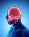 3D illustration de crâne, concept médical Images libres de droits