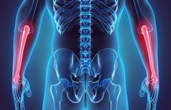 3D illustration de cubitus, concept médical Photo stock