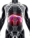 3D Illustration der Membran, medizinisches Konzept Stockfotografie